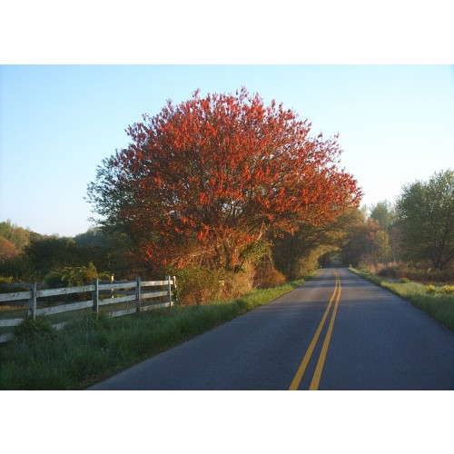 ACER RUBRUM (Red Maple) #7 Pot