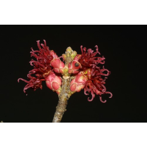 ACER RUBRUM (Red Maple) Tubeling Native Plants