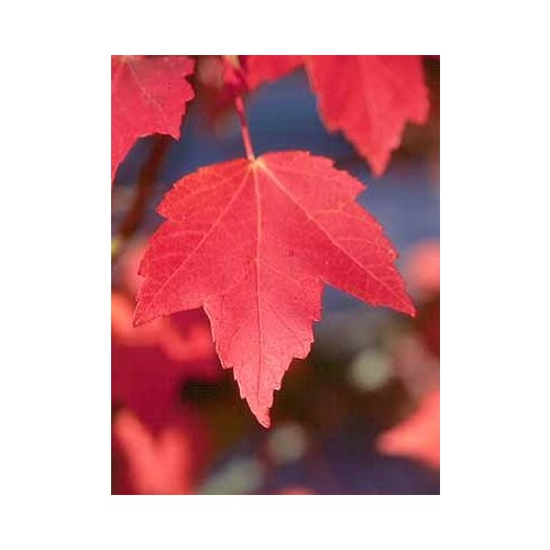 ACER RUBRUM (Red Maple) #3 Pot Native Plants