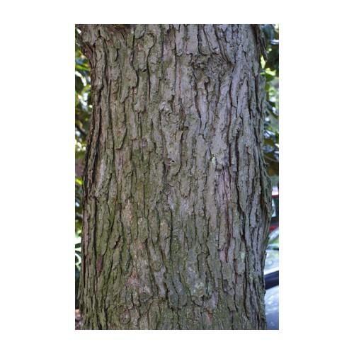 ACER SACCHARINUM (Silver Maple) #7 Pot Native Plants