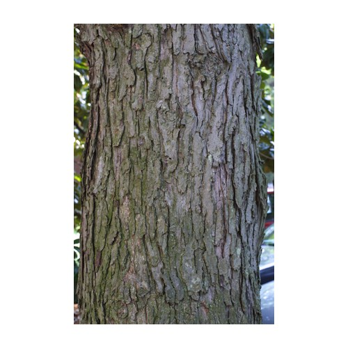ACER SACCHARINUM (Silver Maple) Tubeling Native Plants