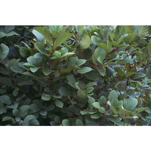 ALNUS SERRULATA (Smooth Alder) #1 Pot Native Plants