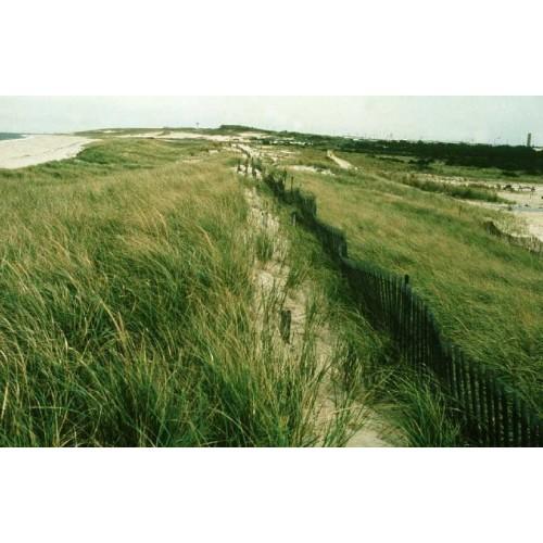 "AMMOPHILA BREVILIGULATA (American Beachgrass) 2"" Plug"