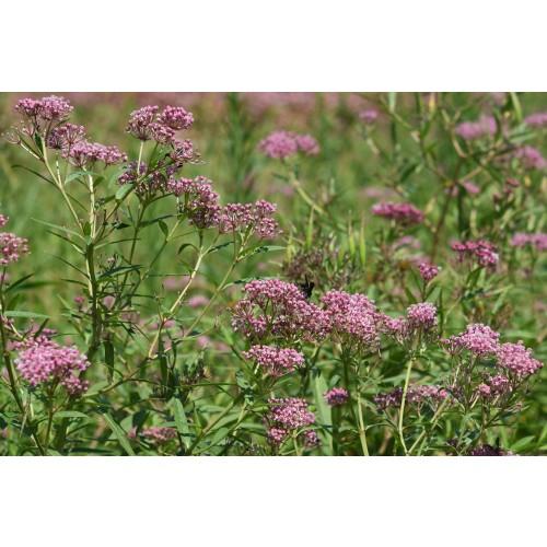"""ASCLEPIAS INCARNATA (Swamp Milkweed) 2"""" Plug"""