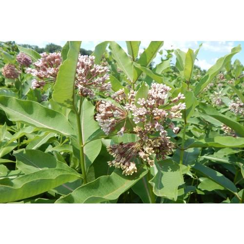 "ASCLEPIAS SYRIACA (Common Milkweed) 2"" Plug"