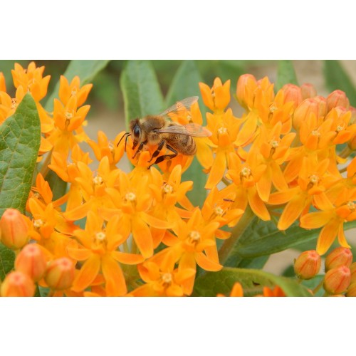 "ASCLEPIAS TUBEROSA (Butterflyweed) Deep 2"" Plug"