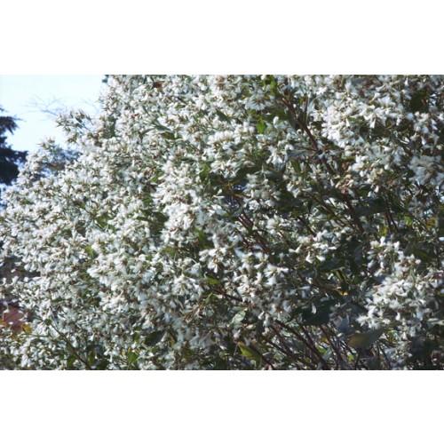 BACCHARIS  HALIMIFOLIA (Groundsel Tree) 72 Tubeling