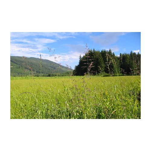 "CALAMAGROSTIS CANADENSIS (Bluejoint Grass) 2"" Plug"