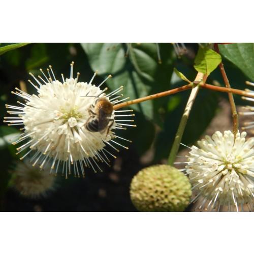CEPHALANTHUS OCCIDENTALIS (Buttonbush) #1 Pot Native Plants