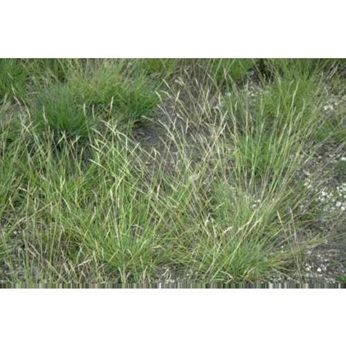 "DANTHONIA SPICATA (Poverty Grass) 2"" Plug"