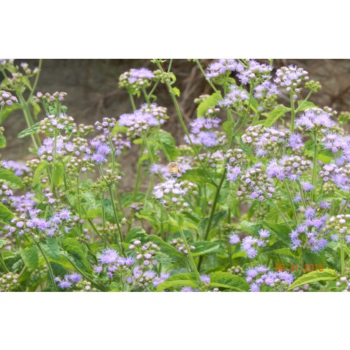 "CONOCLINIUM COELESTINUM (Blue Mistflower) 2"" Plug"