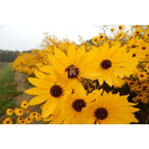 "HELIANTHUS  ANGUSTIFOLIUS (Swamp Sunflower) 2"" Plug"