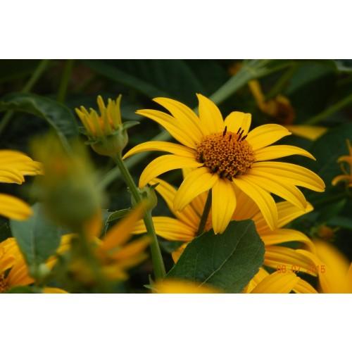 "HELIOPSIS HELIANTHOIDES (False Sunflower) 2"" Plug"