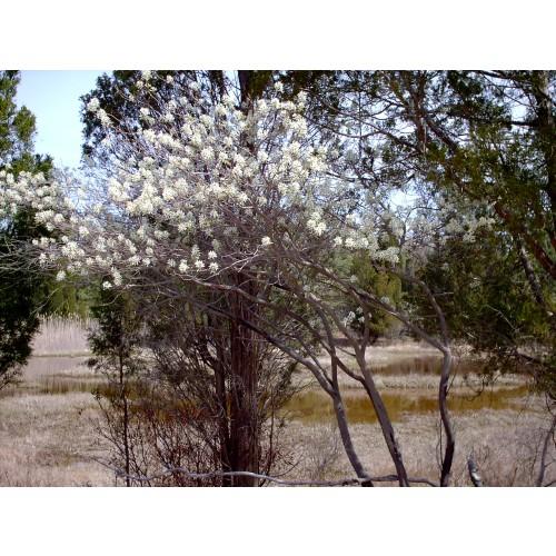 AMELANCHIER CANADENSIS (Shadbush) #2 Pot Native Plants