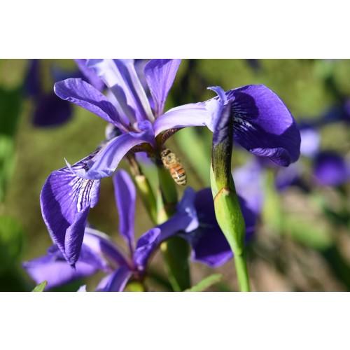 """IRIS VERSICOLOR (Blue-flag Iris) 2"""" Plug"""