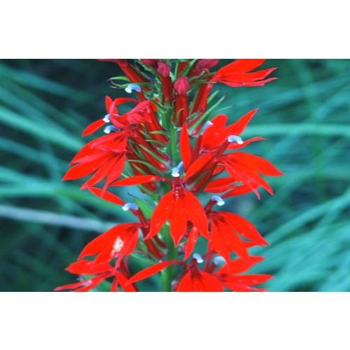 """LOBELIA CARDINALIS (Cardinal Flower) 2"""" Plug"""