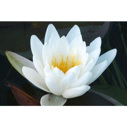 """NYMPHAEA ODORATA (White Water Lily) 2"""" Plug"""