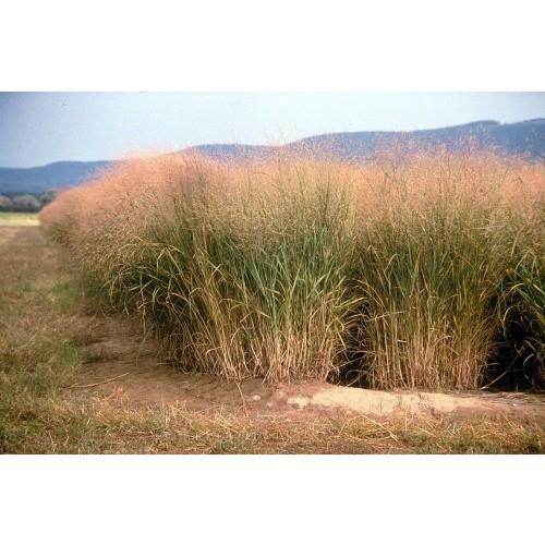 "PANICUM VIRGATUM (Switchgrass) 2"" Plug"