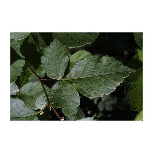 RHUS AROMATICA (Fragrant Sumac) #2 Pot